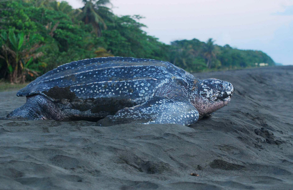 Leatherback sea turtle pictures in the water - photo#30