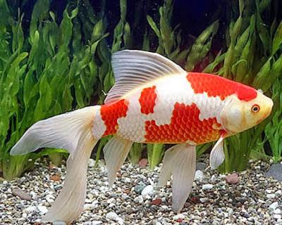 Ikan_Komet ikan hias air tawar yang indah