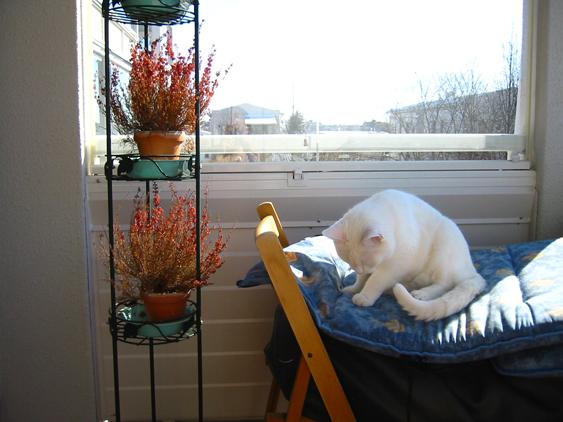Valkoinen kissa makoilee aurinkloisella parvekkeella pehmusteen päällä