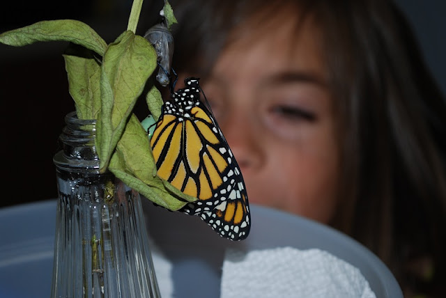 Watching monarch caterpillars change into butterflies