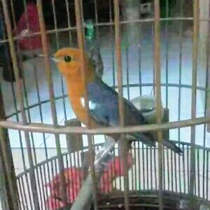 cara memelihara burung anis