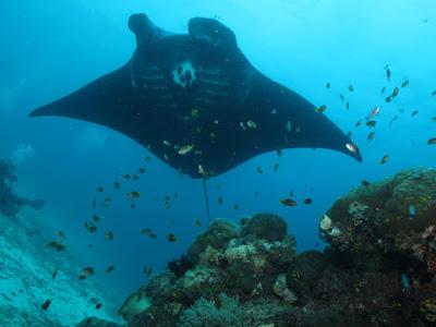 Manta Ray di Pulau Arborek