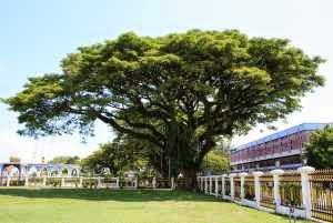 Manfaat Mencengangkan dari Pohon Angsana