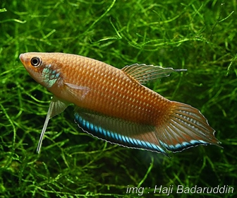 Jenis Ikan Cupang Spesies Betta Enisae