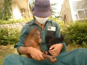 Orangutan in wildlife rescue center