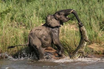 ΣΥΓΚΛΟΝΙΣΤΙΚΟ ΒΙΝΤΕΟ: Κροκόδειλος προσπαθεί να σκοτώσει ελέφαντα!
