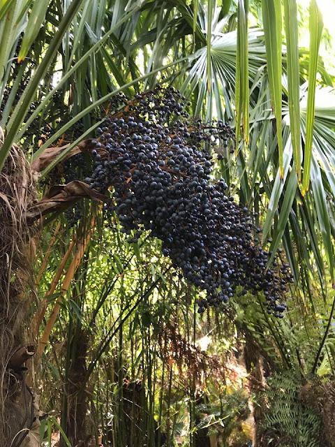 Trachycarpus fortune seeds