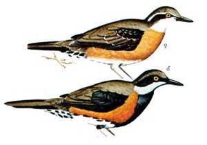 Burung Anis Puyuh Ajax (Cinclosoma Ajax)