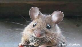 5 Cara Mengusir Tikus Paling Ampuh