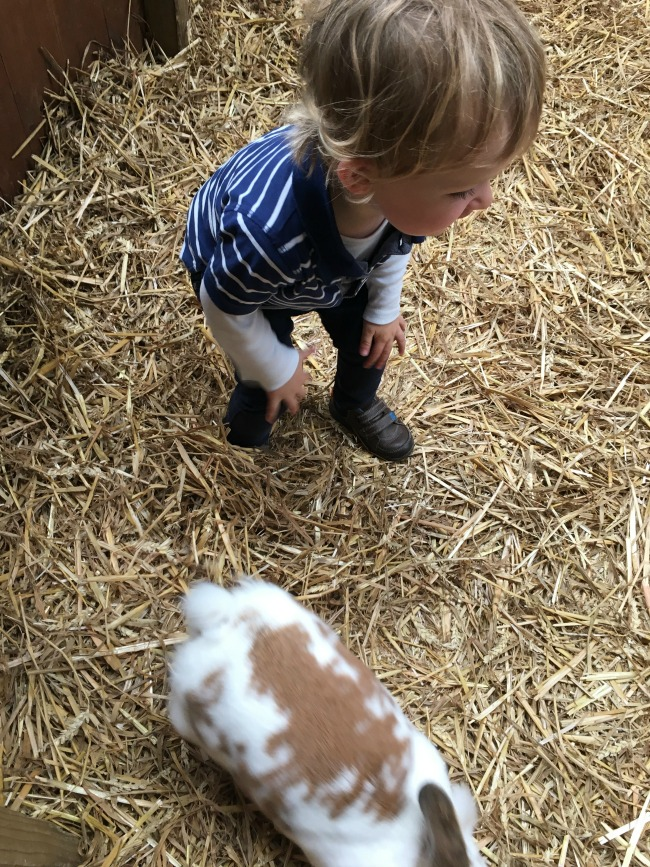 Walnut-tree-farm-park-A-Toddler-looking-at-rabbit