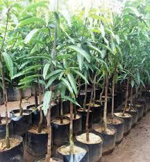 pohonmangga