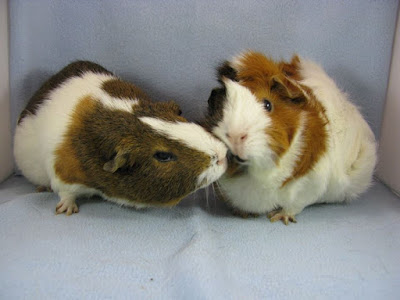 There are many Guinea Pig rescue organizations across the U.S., please try to adopt one before purchasing a Guinea Pig