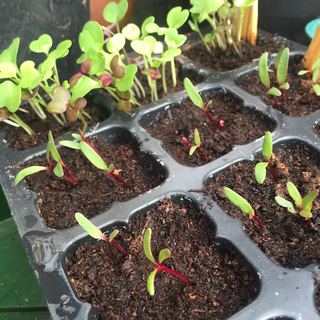 growing seedlings in polytunnel