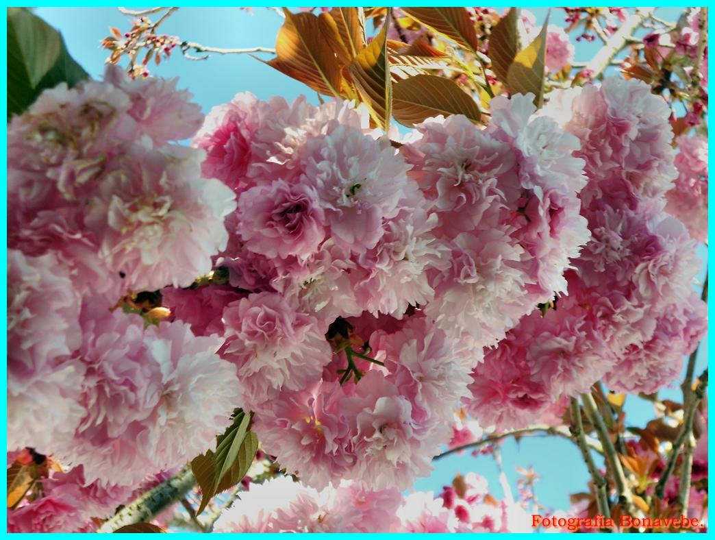 Divagando desde Vigo a mi entender.: Cerezos en flor ...