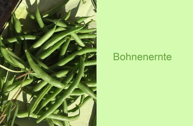 Bohnen aus dem eigenen Gemüsegarten