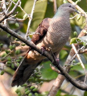 Barred cuckoo-dove - Macropygia unchall