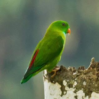 vernal hanging parakeet (Loriculus vernalis)