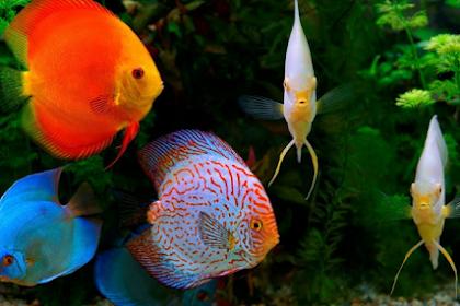 Cara Budidaya Ikan Discus Lengkap Untuk Pemula