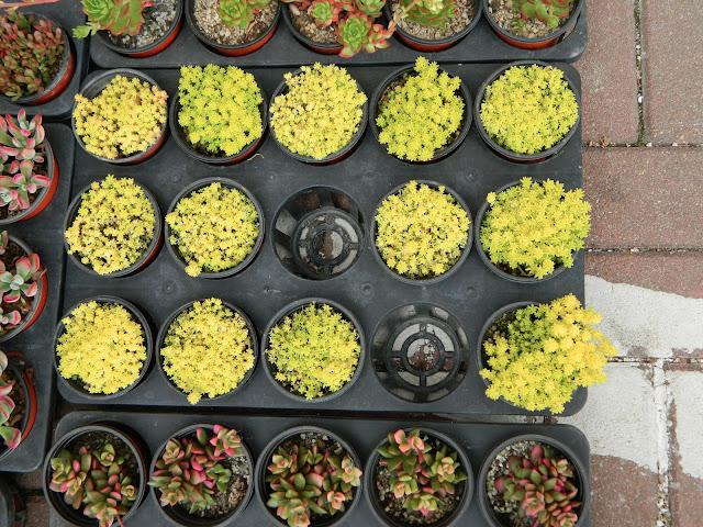 Yellow cactus, anyone?