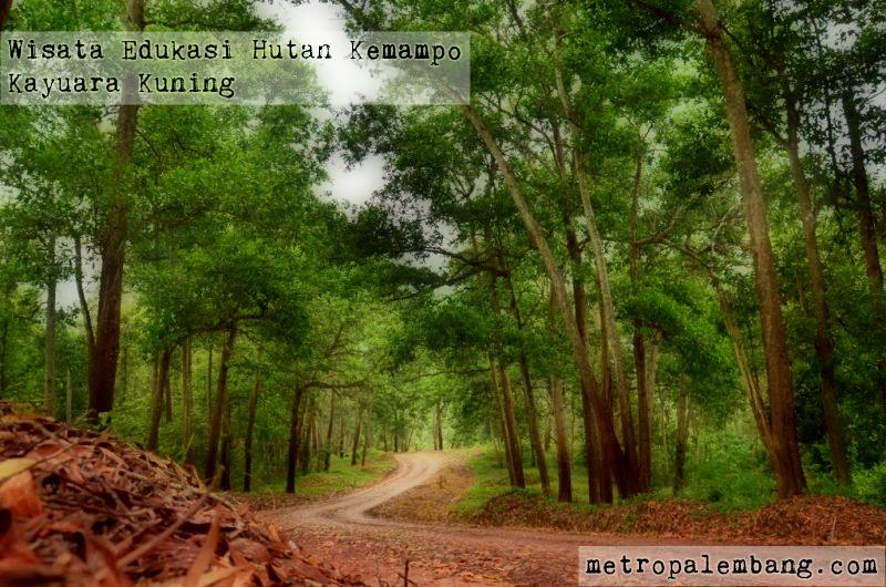 Hutan Kemampo Kayuara Kuning Wisata Alam Dan Pusat