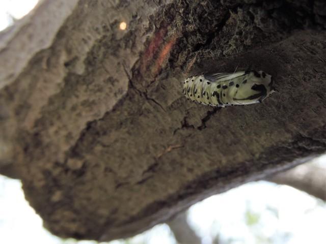 larva de mariposa en árbol antes de metamorfosis