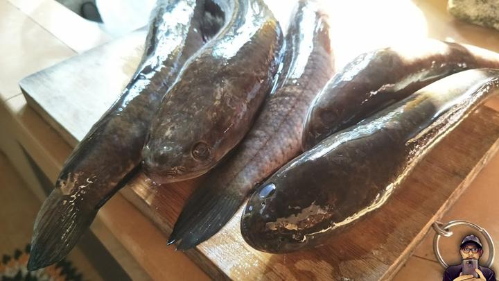 Bahaya Makan Ikan Haruan Untuk Ibu Bersalin Caesarean