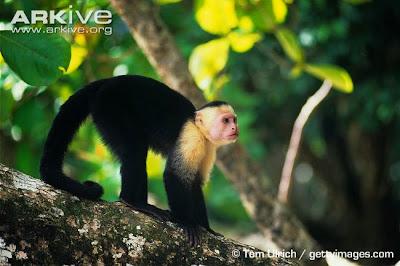 Cebus capuchinus