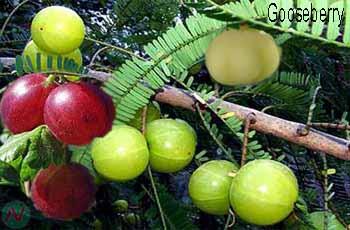 gooseberry fruit; gooseberry