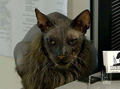 Kucing Paling Hodoh Di Dunia Peristiwa Dunia Peristiwa Forum Cari Infonet