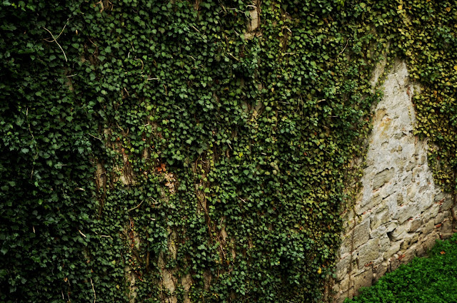 Ivy Covered Wall In Germany