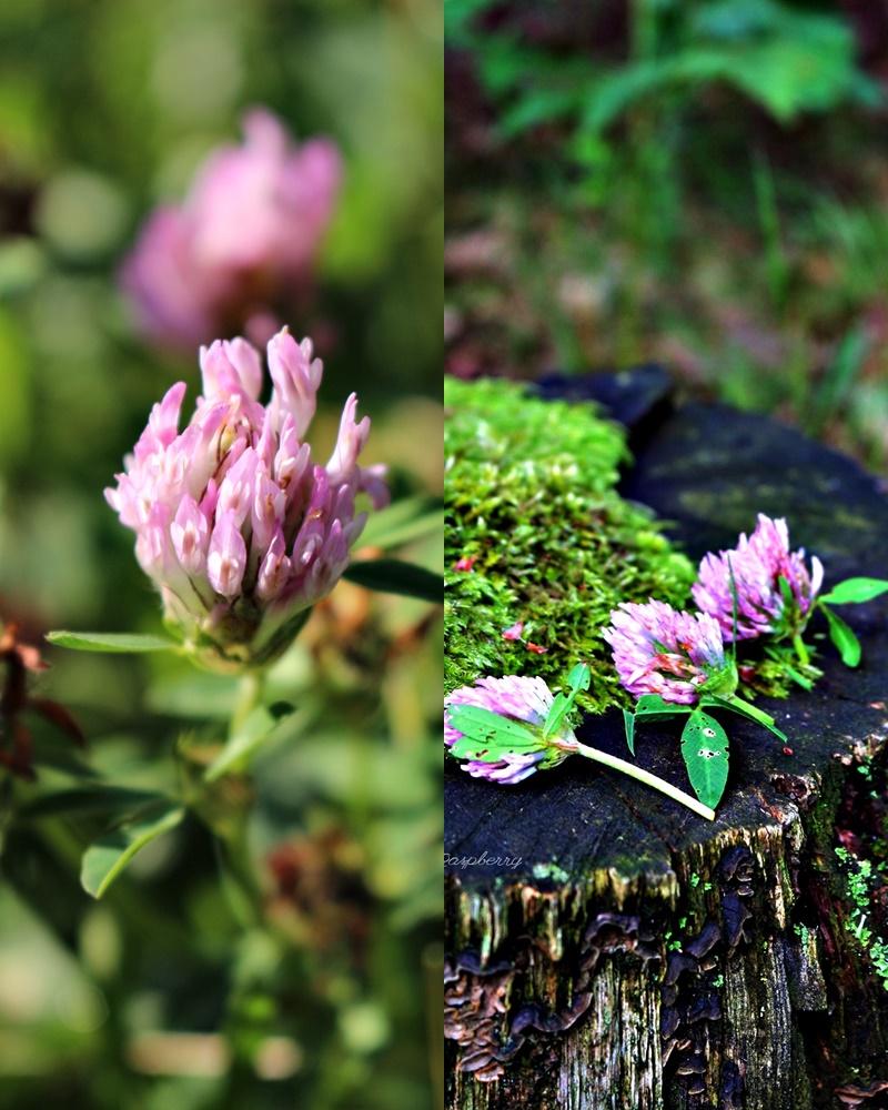 Zioła dla zdrowia i urody: Koniczyna łąkowa