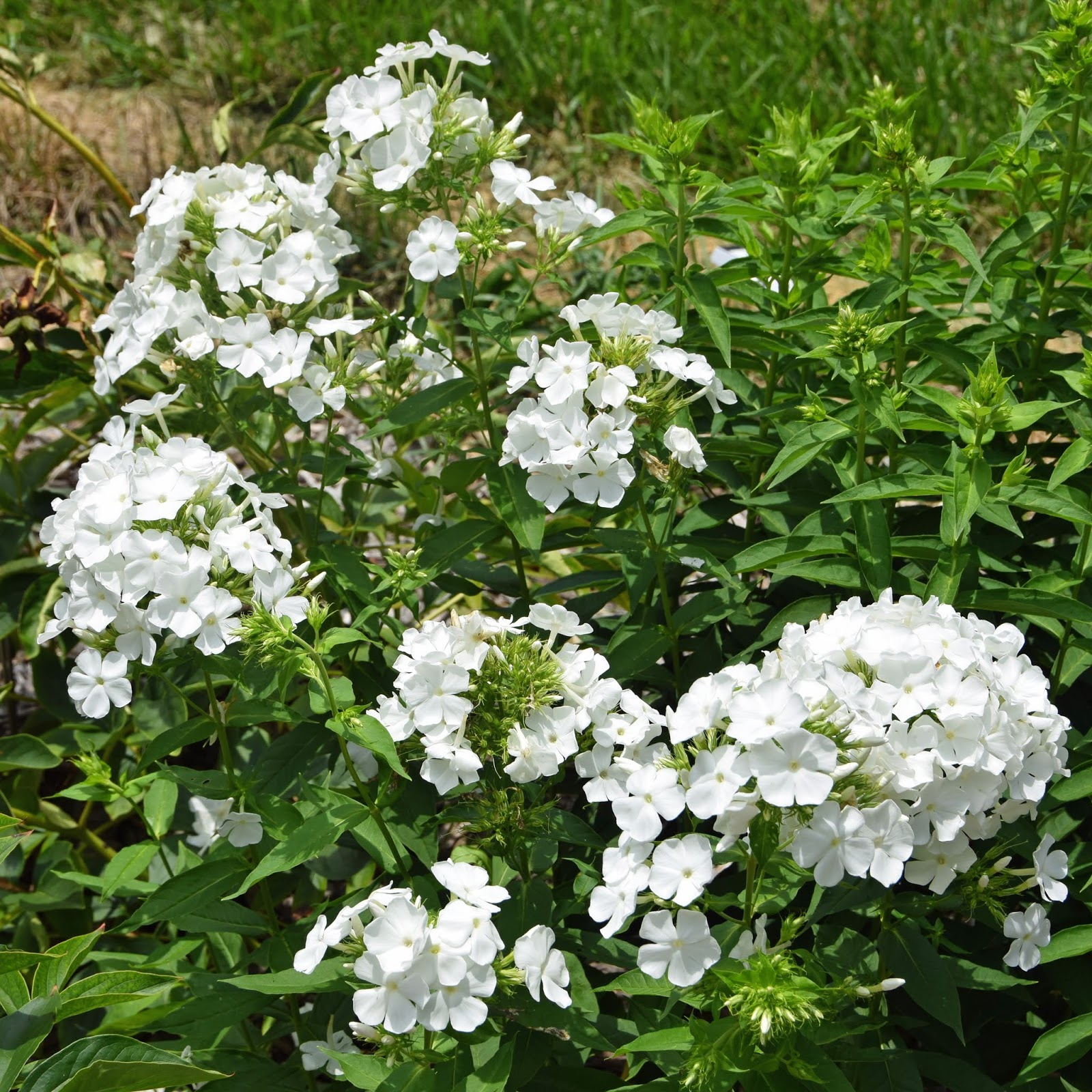 2018 peony companion plants tall garden phlox paniculata - Tall Garden Phlox
