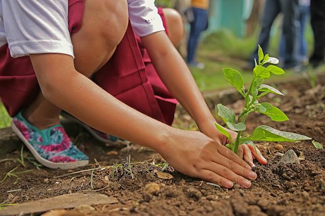 Child planting seedling in organic garden