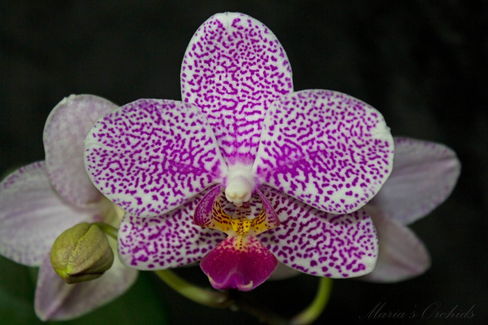 Marias Orchids Spotted noid phal in bloom