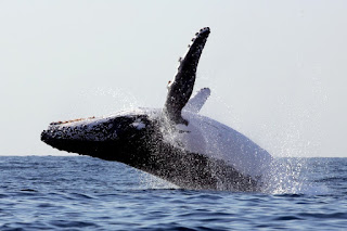 breaching humpback whale, humpback whale