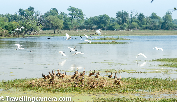 There's so much variety of birds in Keoladeo National Park that I can go on and on about the sheer variety of birds we saw there. It was certainly a joy and a learning experience. One activity that I did before we went to Bharatpur that helped us sight and identify birds during our trip was that we went through the website List of Birds at Keoladeo National Park and marked them in our copy of A Pictorial Field Guide to Birds of India. We also read a bit about these birds. This ensured that these birds were on the top of our mind when we visited Bharatpur and we could quickly mark them in our list. If you are planning to visit a place like Keoladeo National Park, it is recommended that you do some research before you head there so that you can make the most of your trip. White-throated Kingfisher. We have already talked about Herons, Egrets, and Bitterns and also about Storks and Cranes that we saw at keoladeo National Park. In this post, we will talk about all other waterbirds we sighted here. Let's start with one of the most common waterbirds, except cattle egret of course, that we can see around us even in urban areas. It is the White-throated Kingfisher. This beautiful bird is often found solitary, sitting on overhead power lines close to waterbodies in cities. We saw several of these birds in Keoladeo National Park, but only a couple were close enough to be clicked. Common Moorhen (Juvenile). Another waterbird that we saw almost as soon as we reached the wetlands was the Moorhen, a very common member of the rail family. In the above picture, you can see a couple of Juveniles swimming around. I first thought that these were females, however, upon reading further I found that males and females are almost indistinguishable in Moorhens. It is the juveniles that have brownish plumage. Full grown moorhens have deep brown wings with an almost black neck and body. Common Moorhen - full grown You can see full-grown moorhens in the above photograph. Another interesting fact about Moorhens is that the males of this species is also known as a moorhen and not a moorcock. A moorcock is a completely different bird. Moorhens usually form a monogamous pair and are territorial while breeding. Each pair builds several nests in its territory and each nest may contain 4-12 eggs, laid at the rate of one egg per day. Common Sandpiper Very close to the colony of Moorhens, we spotted this lone Common Sandpiper on a bark close to the waterbody. This is unusual because these are gregarious birds and are often seen in large flocks. The bird feeds on worms and molluscs and may even catch insects during flight. This was one of the few migratory birds that we saw at Bharatpur. Common Coot Common Coot was another migratory bird that we saw at Keoladeo National Park. This duck-like member of the rail family is also as territorial as the Moorhen, and more so during the breeding season. When not breeding, these birds form large flocks to stay safe. Common Coots do not make good parents when there is scarcity of food, because in such conditions, Common Coots bite their babies that beg for food to keep them quite. Sometimes babies may end up being killed because of this. Common Coot Both male and female Common Coots look alike, They are almost completely black with the exception of a white shield on their forehead and beak. The black is less pronounced in younger birds and they also lack the white shield. The black plumage develops at around 4-5 month of age. Both make and females are aggressive when it comes to protecting their nests and, when compared to other members of rail family, are less shy. Cormorants Cormorants are a common sight in almost all wetlands and are excellent divers. They use their webbed feet and wings to propel themselves when under water. They feed mostly on fish and have adapted to both saltwater and freshwater habitats. Keoladeo is home to Little Cormorant, Indian Cormorant, and Great Cormorant, and we were lucky enough to spot all. We will talk about the differences between these three types of cormorant a little later. Lesser Whistling Duck The Lesser Whistling Duck is also known as the Indian Whistling Duck, and are common aquatic birds in the Indian Subcontinent and South-East Asia. These birds usually feed during the night and can be found sunning themselves during the day. They sleep while standing, their neck curled to keep the sun away from their eyes. Males and Females are are alike in appearance. These ducks are resident at the Keoladeo National Park.  Ibises - Black-headed and Glossy We saw two types of Ibises at the Keoladeo National Park. Of them, the black-headed Ibis is the resident species. It is often confused with the white Ibis though its black neck and beak stand in stark contrast with its overall white plumage. Male and female are identical. During the breeding season, some Ibises may develop a black tuft of feathers on the tail. Ibises have adapted themselves to both natural and manmade waterbodies and are highly versatile. Lesser Whistling Ducks in the foreground, Ibises in the back The Glossy Ibis is a migrant species at the Keoladeo National Park. It can be seen keeping company with the black-headed Ibises, and is often mistaken as a black Ibis. It is a highly nomadic bird and birds may disperse after breeding. They feast mostly on aquatic insects and crustaceans and occasionally also on fish, lizards and other small aquatic animals. Aquatic birds are often seen in close company with different types of birds. In the above photograph, you can see black-headed and Glossy Ibises in company with Lesser Whistling Ducks and even a couple of egrets. Little Cormorant This bird with almost entirely black body is the little cormorant. It is slightly smaller than the Indian Cormorant and mostly forages alone or in loose groups of a few individuals. Unlike the Indian Cormorant, the little cormorant lacks a pointed head profile. The little cormorant is found in India, Bangladesh, Srilanka, Pakistan and Nepal. It is not found in the Himalayas though some solitary individuals have been sighted in Ladakh. Grey-headed Swamphen in the foreground; Common moorhens in the back This bird was earlier known as the Purple Swamphen, but the species has now been subdivided into 6 species, among them the Grey-headed Swamphen, which is found in the Indian Subcontinent. Now the Purple Swamphen is considered as a superspecies, whereas the each of the 6 sub-divisions have been elevated to the status of a full species. The male has an elaborate courtship display where it bobs up and down all the while holding weeds in its beak. It would be interesting to watch I am sure. But we were not so lucky. Great Cormorants The Great Cormorants are big birds, but their sizes may vary greatly depending upon the region they are from. These birds can be seen perched on trees around waterbodies in large groups. These birds have adapted themselves to a wide variety of habitats including saltwater and freshwater wetlands. Great Cormorants indulge in long-term pairing and one pair may continue to use the same nest year-after-year. Oriental Darter Oriental Darter bird is also known as the Snake Bird because of its long thin neck and the way it appears when it dives and swims in the water. Oriental Darter hunts with its body submerged and only the neck visible above the water. It spears the fish with this pointed beak and then brings it on the surface. It is often seen on rocks on the edges of wetlands, with its wings spread, sunning itself. Indian Cormorant The Indian Cormorant is also known as the Indian Shag and is mostly found in Indian Subcontinent. It is a mid-size cormorant which has a dark copper brown plumage. It has a long narrow beak that ends in a hook. Its head is slightly domed and the eye is blue. Male and Female Indian Cormorants are similar, but juveniles and non-breeding adults are lighter brown than the breeding individuals. Red-Wattled Lapwing The Red-Wattled Lapwing is a large plover that is commonly seen and heard in urban habitats as well. It's call that sounds like did-he-do-it can be heard commonly during the day and night. This is an alarm call that warns about the presence of humans or animals around. These birds are incapable of perching and are mostly seen on ground. Their chicks immediately after hatching start following the adults around for feeding. There are so many birds that we saw but could not click at Keoladeo National Park. And there were so many beautiful scenes of peaceful co-habitation among species that we found difficult to express through photographs. We saw feral cattle driving away herons and storks, but then simply letting them be. It looked like a giant playground for these different animals. But appearances are often deceptive and we know that the ultimate question is of survival. There is violence beneath the surface, and that is the reality, whether we like it or not.
