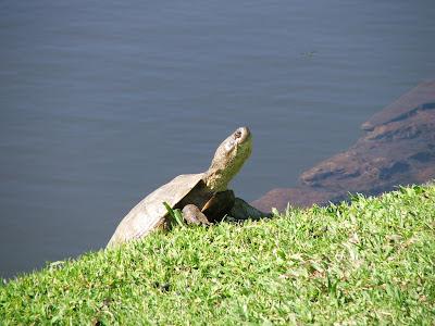 Habitat & Karakteristik African Helmeted Turtle