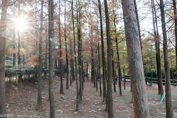 后里如光山寺落羽松池杉林|泰安派出所附近的另一處落羽松秘境