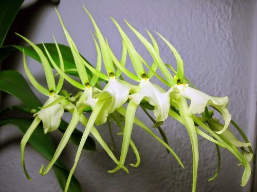 Brassia Rex Waiomao Spotless