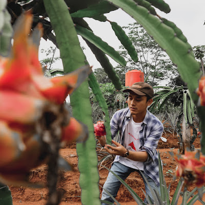 Wisata Tanah Wakaf Jalanin Bareng Petik Buah Naga