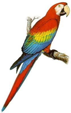 Arara Piranga ou Arara Vermelha (Ara macao)