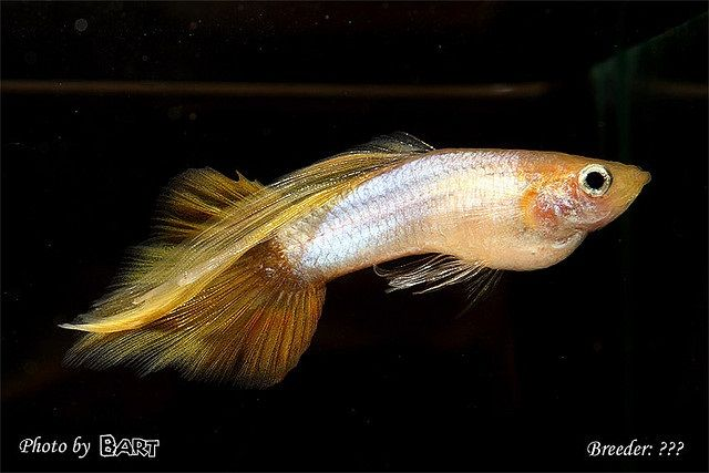 Gambar Ikan Guppy Speartail Warna Golden