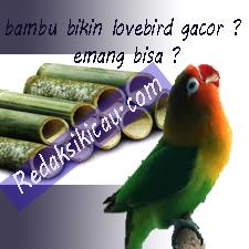 Lovebird Beauty Contes Mulai Menjamur Di Indonesia Seputar Burung Unik