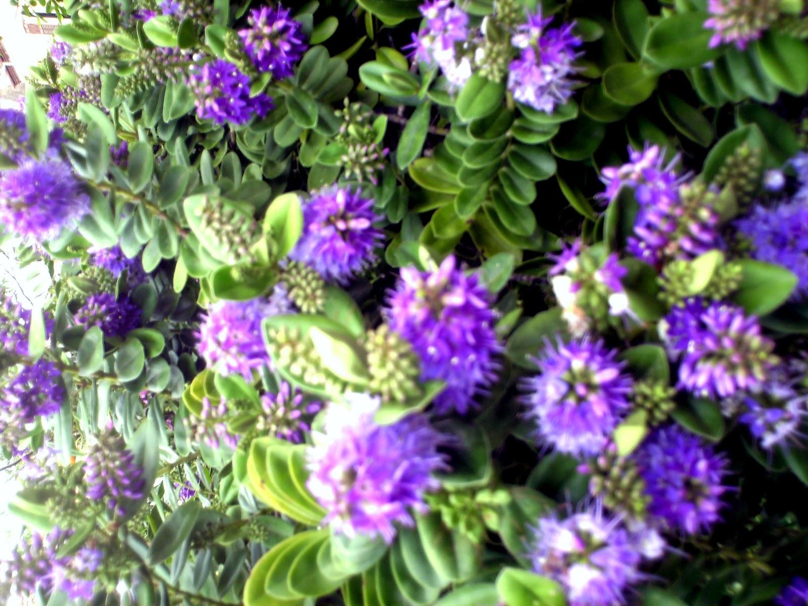 Fiori piante e giardini del mondo piante perenni veronica for Piante perenni per bordure
