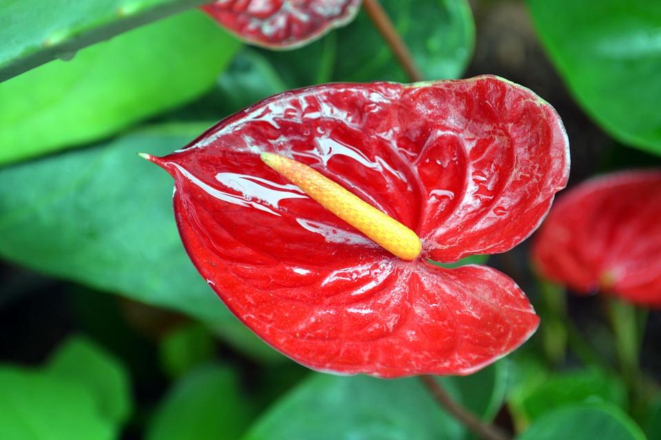 entre plantas y macetas cuidados del anturio anthurium