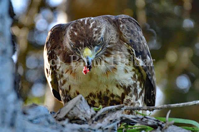 Hawk  Eating a Mouse