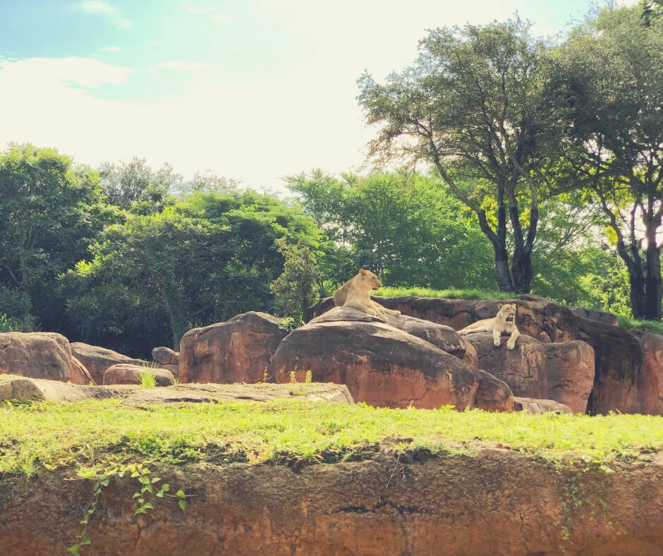 Top 7 Things You Should Do At Animal Kingdom, Walt Disney World | See lions lying on rocks on the Kilimanjaro Safaris.