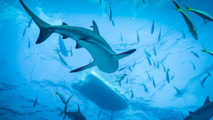 Wallpaper: Diving with Sharks in the blue ocean