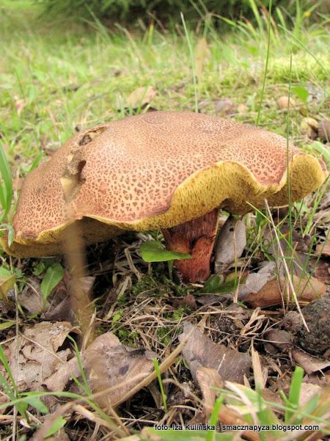 borowik zlotopory, podgrzybek zlotawy, grzyb zajeczy, czerwona noga, zajaczek, atlas grzybow, jaki to grzyb, grzyby gatunkami, grzybobranie