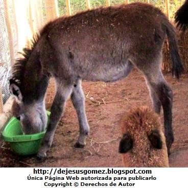 Foto de un burro en plena comida en Villa de Papa Noel. Foto de un burro de Jesus Gómez